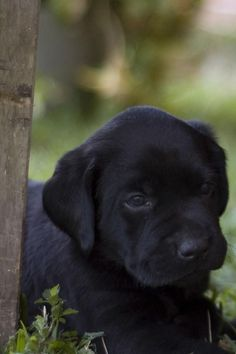 I seriously can't tell you how bad I am ready for the next part of my family! It may be a little longer in the long run, but one day I will have another black Labrador puppy. And honestly, it will be the best feeling in the world!