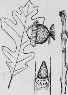 fagaceae quercus macrocarpa dried - Google Search