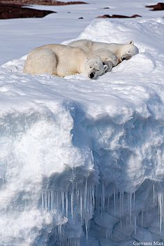Polar Bears, North Spitsbergen - Svalbard, a land where polar bears outnumber people