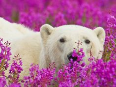 The pink-purple fireweed is common throughout Northern Canada.Polar bears playing in the fireweed in Churchill, Manitoba. Photo by Dennis Fast.