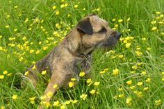 Border Terrier Puppies For Sale & Puppy Breed Info Border Terriers For Sale, Border Terrier Puppy, Terrier Puppies, Best Dog Breeds, Puppy Breeds, Pitbull Dog Names, Big Dog Motorcycle, Terrier Breeds, Staffordshire Bull Terrier