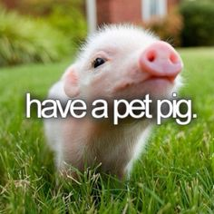 Pet pig. #bucketlist