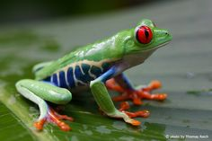 Nature Animals, Animals And Pets, Red Eyed Tree Frog, Cute Frogs, Frog And Toad, Siberian Tiger, Reptiles And Amphibians, Animal Drawings, Animals Beautiful
