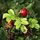 Rosa de mosqueta, propiedades medicinales y usos ecoagricultor.com