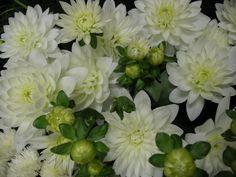 white dalias in pots