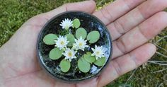 Making Water Lily is my passion for a long long time. I remember it very well that how mesmerized I was when I saw a miniature water lil...