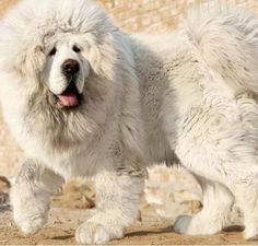 Amazing White Tibetan Mastiff