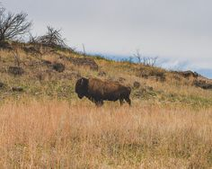 American Bison Print, Buffalo Print, Western Decor, Wildlife Photography, Oklahoma Photography, Great Plains Bison, Southwest Buffalo Art