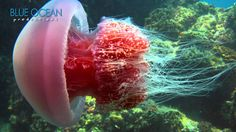Come Dive with Jellies - Jellyfish Rock!