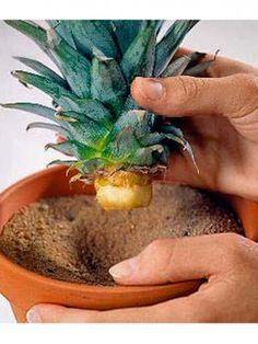 Ananas einsetzen