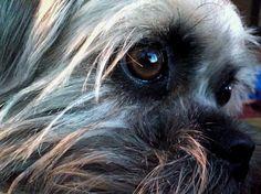 Beautiful eyes of the pugzu