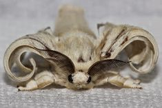 RAWRchelle's Insect Breeding Guides: Silkworm Breeding, that nutritious caterpillar. Bearded Dragon Food, Selective Breeding, Worms, Caterpillar, Silk, Silk Sarees