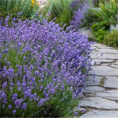 Shop Now For Munstead Lavender Seeds From Ireland's Online Garden Shop. Top Quality Lavender Seeds On Sale With Super Fast Next Day Delivery Lavandula Angustifolia Munstead, Full Sun Perennials, Flowers Perennials, Lavender Seeds, Lavender In Garden, English Lavender Plant, Lavender Planters, Gardens, Houses