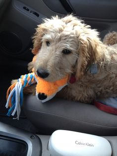 1000+ images about Goldendoodle (Sammy's) Haircut on Pinterest | The ...