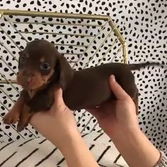 i love Dogs Dachshund Puppies, Cute Puppies, Cute Dogs, Dogs And Puppies, Cute Babies, Dachshunds, Daschund, Doggies, Cute Funny Animals