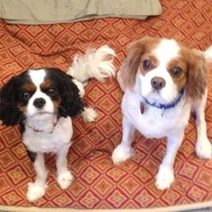 Rio is an adopted Cavalier King Charles Spaniel Dog in Oakland, NJ. Rio & Kuta are purebred King Charles Cavalier Spaniels 4-5 years old, now looking for a new forever family.  These boys are very att...