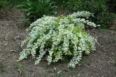 Click to view full-size photo of Chardonnay Pearls Deutzia (Deutzia gracilis 'Duncan') at The Growing Place