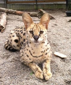 Servals, are so cute! He is known for jumping really high! Beautiful animals
