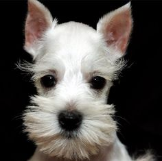 This little white mini schnauzer is absolutely darling