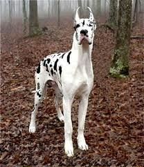 Great Dane! Soo big and regal!