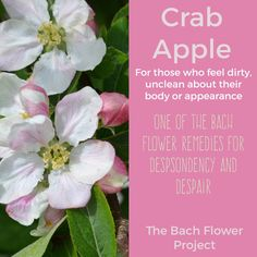 The Bach Flower Remedy is made from Malus Pumila also known as Crab Apple Blossom. It is famously nown as the great cleaneser. Sometimes we feel contaminated, poisoned, disgusted by an illness, rash or other illness. Sometimes we can feel disgusted by a situation that we cannot shake off. Crab Apple is the essence to clear feelings of contamination, of obsessive behaviours like OCD. For those who over-concentrate on minor details. Self condemnation or being criical at self and own body.