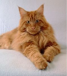 Maine Coon: Solid Triumph Thunder of Shadowlady