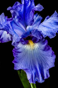 ☀Blue Iris ~ Blue Flag by Robert Bales * Amazing Flowers, Beautiful Flowers, Blue Flag, Iris Garden, Iris Flowers, Purple Flowers, Outdoor Art, Mother Nature, Shrubs