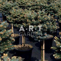 Picea pungens Glauca Globosa st 40 b40-50, C20