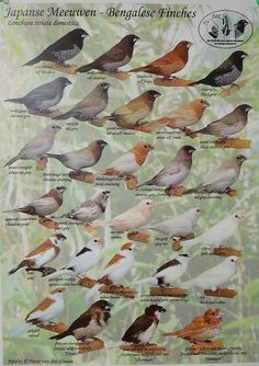 Society finches color chart