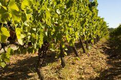 Quelques vignes de l'Engarran.