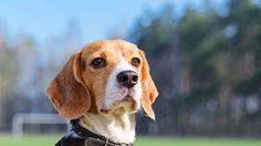 Χρειάζεστε κι άλλο λόγο για να βεβαιωθείτε ότι οι σκύλοι είναι οι καλύτεροι φίλοι του ανθρώπου; Μία νέα έρευνα που παρουσιάστηκε στο συνέδριο της Πειραματικής Βιολογίας φέτος στο Orlando των ΗΠΑ αποκαλύπτει ότι οι ειδικά εκπαιδευμένοι σκύλοι μπορούν να συνεισφέρουν στον εντοπισμό του καρκίνου. Χάρη στην αξιοζήλευτη αίσθηση της όσφρησης – η οποία είναι 10.000 φορές πιο ακριβής από εκείνη του ανθρώπου – οι σκύλοι μπορούν σε εργαστηριακό περιβάλλον να ανιχνεύσουν τα δείγματα αίματος των ασθενών…