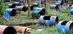 The orphaned dogs of the Philippines. Pit bulls and other breeds are chained in their steel drum cages at a coffee farm after being rescued from dog fighting gangs in the Philippines. World's Tallest Dog, Drum Cage, Mountain Gorilla, San Pablo, Dog Fighting, Great White Shark, Animal House, Pit Bulls, Animal Rights