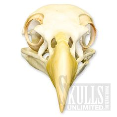 Bald Eagle Skeleton | Bald Eagle (Haliaeetus leucocephalus) | Skulls Unlimited 1-800-659 ...