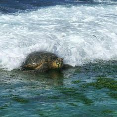 I use to eat the illi illi too the seaweed from the rocks. Just so much needed nutrients. Surfing honu(turtle) eating goods from the ocean. Wild Creatures, Ocean Creatures, Sea And Ocean, Fish Ocean, Awsome Pictures, Save The Sea Turtles, Turtle Love, Life Aquatic, Underwater Creatures
