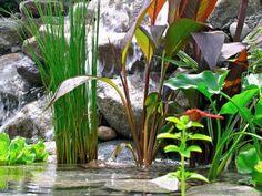 Растения для водоемов. Список растений для прудов, берегов ручьёв с названиями и фото - Ботаничка.ru - Страница 6