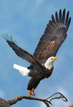 eagle owls of paradise birds Pretty Birds, Beautiful Birds, Animals Beautiful, Photo D Aigle, Aigle Animal, Animals And Pets, Cute Animals, Eagle Pictures, Eagle Art