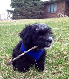 Look at this fluffball who is very proud of his GIANT and MIGHTY stick. Cute Dogs And Puppies, Puppies For Sale, Big Dogs, Doggies, Happy Puppy, Happy Dogs, Animal Pictures, Cute Pictures, Puppy Care