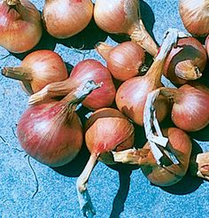 Large, French, half-long-style shallots with a warm reddish-copper skin and white flesh. Very firm, and suitable for long storage through spring.