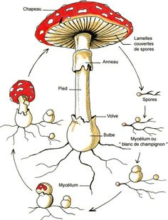 champignon Primary Science, Science Activities For Kids, Montessori Activities, Plant Science, Science And Nature, Fungi, Plant Lessons, Mushroom Art, Nature Study