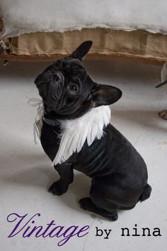 angel frenchie