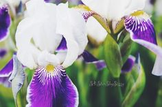 Flower Photography Wall Art Nature Photography Purple White Flower Photography Floral Decor Green Chic Photography Fine Art Giclee Print by S4StarSbySiSSy on Etsy