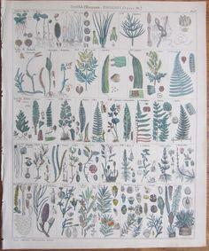 Oken: *Large Botanical Print Fern etc. - 1843 #Realism