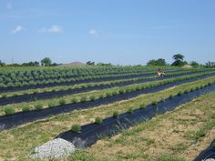 2009 half acre addition Lavender Field