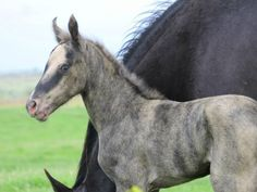 Unusual coloring on this foal. Would it be considered a brindle? Rare Horses, Horses And Dogs, Wild Horses, Animals And Pets, Baby Animals, All The Pretty Horses, Beautiful Horses, Animals Beautiful, Brindle Horse