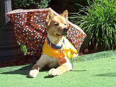 """Lulu """"The Miracle Dog"""" at Sunrise of Bellevue, WA   Sunrise Senior Living"""
