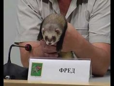 Komari The Little Kitten Raised By Ferret Brothers Meow - Rescued kitten adopted by ferrets now thinks shes a ferret too