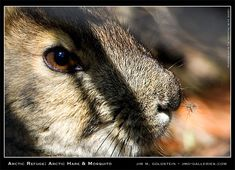 Arctic Refuge: Arctic Hare and Mosquito nature photograph by Jim M. Wildlife Photography Tips, Outdoor Photography, Animal Photography, Travel Photography, Bad Photos, Cool Photos, Arctic Hare, Photo Tips, Landscape