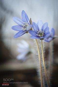 Blue Hepatica by YzooN #nature #photooftheday #amazing #picoftheday