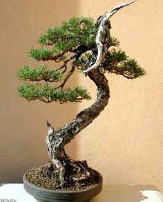 On The Net Landscape Design And Style - The New On-line Tool That Designers Are Flocking To For Landscape Designs Bonsai Pine Landscape Model, Landscape Structure, Landscape Design, Pine Bonsai, Bonsai Trees, Terraria Tips, Tree Pruning, Miniature Trees, Potted Trees