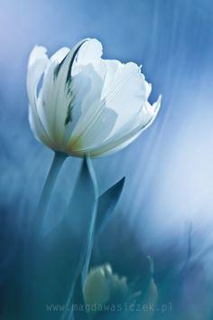 White tulip; Blue background